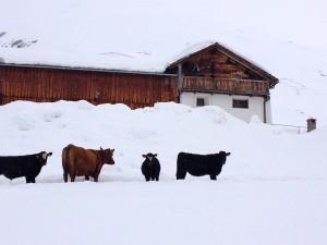 Avers Kühe
